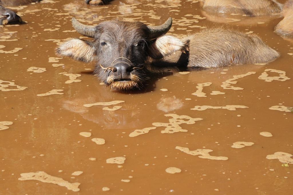 water buffalo buffalo water 497a7a 1024