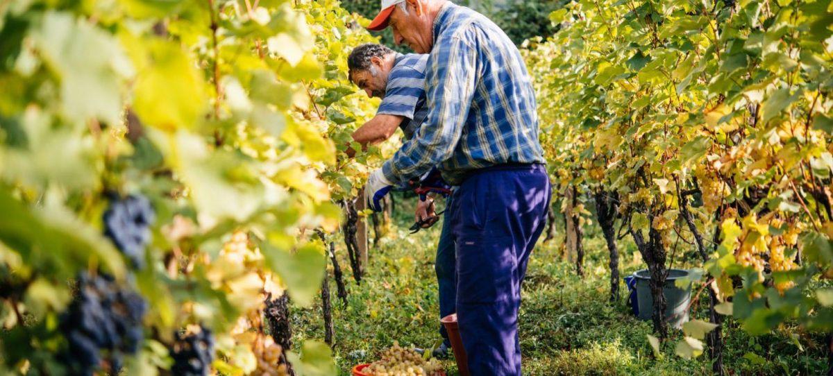 Farmers are harvesting grapes in a vineyard in Kakheti region Georgia