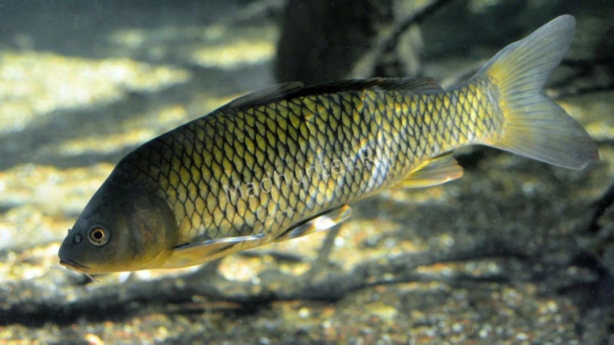 Sazan ryba